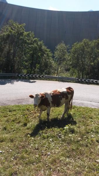 Kleine Kuh und große Mauer