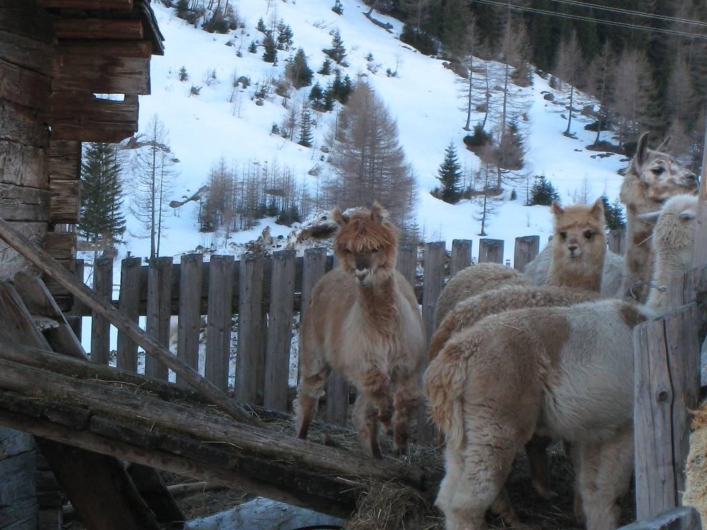 03_15 Alpakas am Tauernhaus